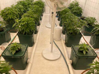 Выращивание конопли